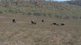 Un grupo de búfalo que pasta en un campo cerca de la colina de la sabana almacen de video