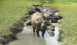 Un grupo de búfalo se está bañando en un pantano en el verano Tailandia Fotografía de archivo libre de regalías