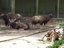 Un grupo de búfalos que descansan en el parque zoológico fotos de archivo libres de regalías