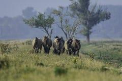 Un grupo de caballos del konik Imagen de archivo libre de regalías