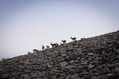Un grupo de cabras de montaña que van abajo de la colina Foto de archivo