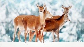 Un grupo de ciervos femeninos hermosos en el fondo de un elaphus noble del Cervus de los ciervos del bosque del blanco nevoso Win Fotografía de archivo
