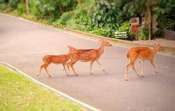 Un grupo de ciervos manchados que caminan a través de una calle en un parque zoológico abierto en Tailandia imagen de archivo