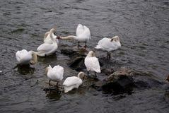 Un grupo de cisnes Foto de archivo libre de regalías