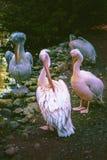 Un grupo de cisnes cerca de la charca en un día de verano soleado Fotografía de archivo libre de regalías