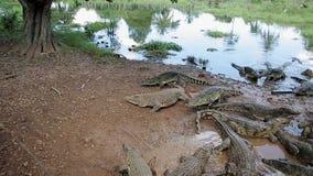 Un grupo de cocodrilos americanos y cubanos en la pequeña charca, Cuba almacen de video