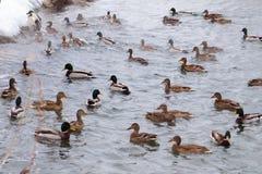 Un grupo de diversos patos Imágenes de archivo libres de regalías