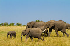 Un grupo de elefantes en el Masai Mara imagen de archivo