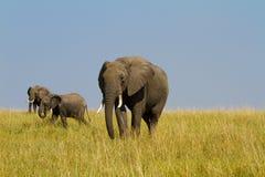 Un grupo de elefantes en el Masai Mara Foto de archivo