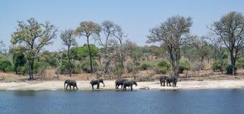 Un grupo de elefantes viene adelante el río a beber Son abo imágenes de archivo libres de regalías