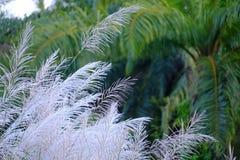 Un grupo de flor blanco de la flor de la hierba salvaje en el campo con soplar del viento y fondo de los árboles de coco fotos de archivo libres de regalías