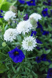 Un grupo de flores blancas y azules Imagenes de archivo