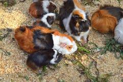 Un grupo de frunce de los conejillos de Indias a forrajear y a alimentar Fotografía de archivo