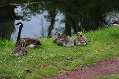 Un grupo de gansos Foto de archivo