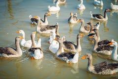 Un grupo de gansos en la granja avícola Imagen de archivo