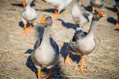 Un grupo de gansos en la granja avícola Fotografía de archivo libre de regalías