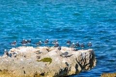 Un grupo de gaviotas en una roca grande en una laguna del mar del Caribe Foto de archivo