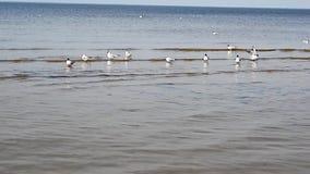 Un grupo de gaviotas está nadando cerca de la orilla de mar en Jurmala y está gritando almacen de metraje de vídeo