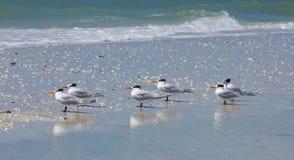 Golondrinas de mar reales en la playa descalza Imagenes de archivo