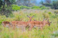 Un grupo de Imapala o ciervos que presentan en una reserva del juego imágenes de archivo libres de regalías