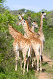 Un grupo de jirafas fotografió en Tala Private Game Park Fotos de archivo