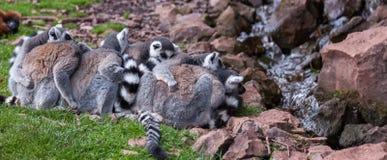 Un grupo de lémures Foto de archivo