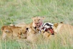 Un grupo de leones que comen la cebra Imagen de archivo