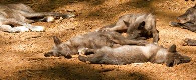 Un grupo de lobos jovenes Fotografía de archivo
