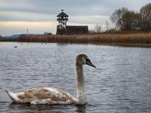 Un grupo de nadar joven de los cisnes pacífico en el agua fotos de archivo