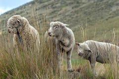Un grupo de ovejas pasta y camina a través del campo imagen de archivo libre de regalías