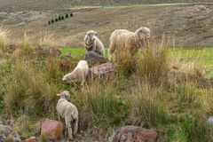 Un grupo de ovejas pasta y camina a través del campo imagenes de archivo