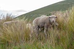 Un grupo de ovejas pasta y camina a través del campo foto de archivo