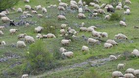 Un grupo de ovejas que pastan, caminando y descansando sobre un pasto verde almacen de metraje de vídeo