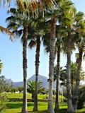 Un grupo de palmeras elevadas Imágenes de archivo libres de regalías