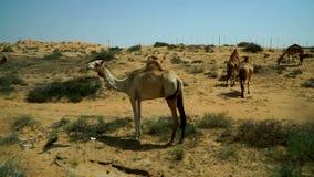 Un grupo de pastar camellos, preocupante del acercamiento de un extranjero Un lugar cerca del camino a través del desierto en los almacen de metraje de vídeo