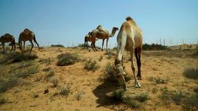 Un grupo de pastar camellos, preocupante del acercamiento de un extranjero Un lugar cerca del camino a través del desierto en los metrajes