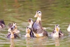 Un grupo de pato del bebé que juega en el agua Foto de archivo libre de regalías
