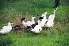 Un grupo de patos imagenes de archivo