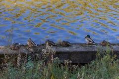 Un grupo de patos en el riverbank Imagen de archivo