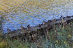 Un grupo de patos en el riverbank Foto de archivo libre de regalías
