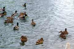Un grupo de patos está flotando maravillosamente Imágenes de archivo libres de regalías