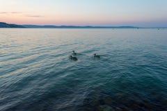 Un grupo de patos que nadan en el lago Balaton por la tarde en Hungría fotos de archivo