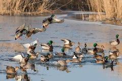 Un grupo de patos que vuelan y que aterrizan en una charca durante invierno fotos de archivo