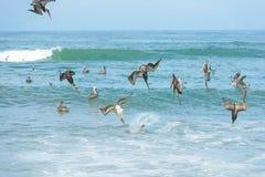 Un grupo de pelícanos que se zambullen para los pescados Imagen de archivo libre de regalías