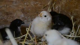 Un grupo de pequeños polluelos lindos camina en el gallinero Cierre para arriba de colorido pocos pollos viejos de los días con s metrajes