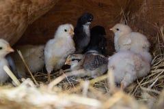 Un grupo de pequeños polluelos lindos camina en el gallinero Cierre para arriba de colorido pocos pollos viejos de los días con s Fotografía de archivo libre de regalías