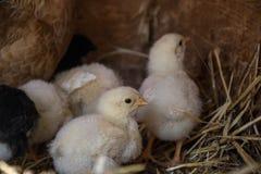 Un grupo de pequeños polluelos lindos camina en el gallinero Cierre para arriba de colorido pocos pollos viejos de los días con s Fotografía de archivo