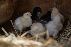 Un grupo de pequeños polluelos lindos camina en el gallinero Cierre para arriba de colorido pocos pollos viejos de los días con s Imagen de archivo