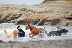 Un grupo de perros que juegan en el océano Imagen de archivo libre de regalías