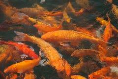 Un grupo de pescados del koi imágenes de archivo libres de regalías